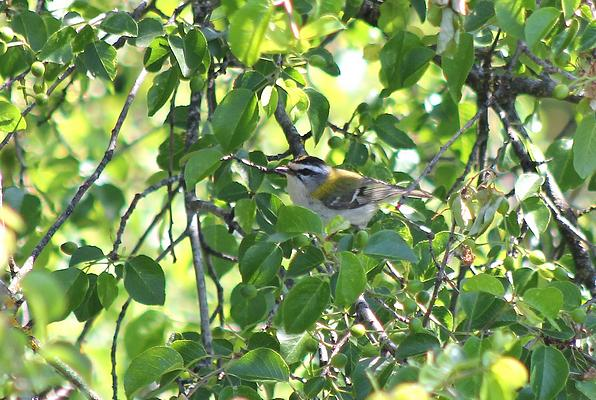 Firecrest by Mary Brazier©