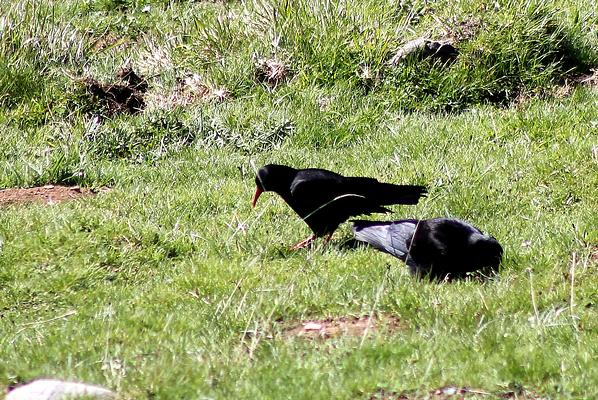 Red billed Chough by Mary Brazier©