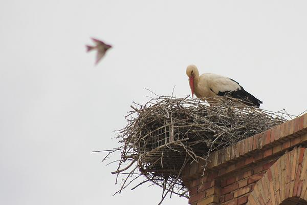White Stork by Mary Brazier©
