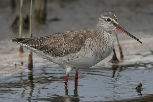 Spotted Redshank by Bryan Thomas©