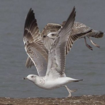 Not a Ring billed Gull by Malcolm Palmer