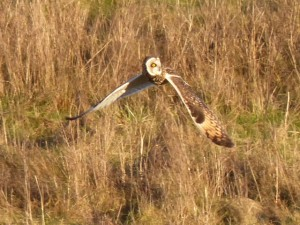 Short eared Owl by Mike Smith©