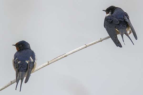 Swallows by Bryan Thomas©