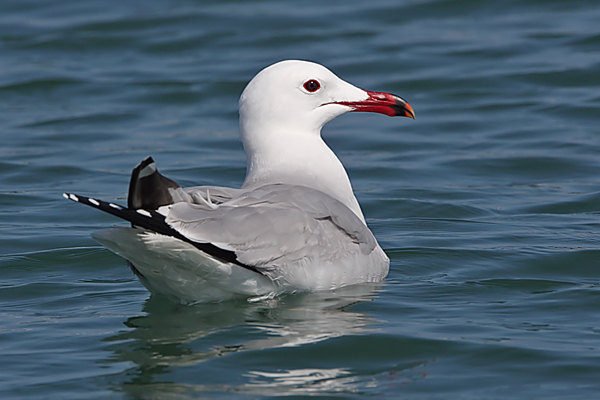 Audouin's Gull by Bryan Thomas©