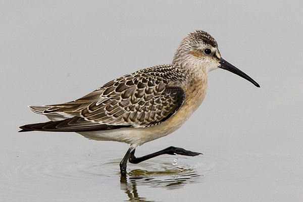 Curlew Sandpiper by Bryan Thomas©