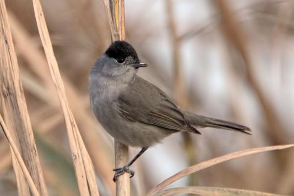 Blackcap (male) by Bryan Thomas©