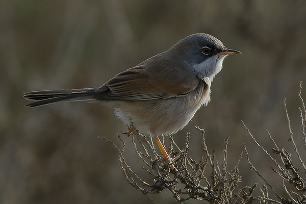 Spectacled Warbler by Bryan Thomas©