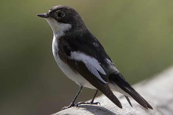 Pied Flycatcher by Bryan Thomas©