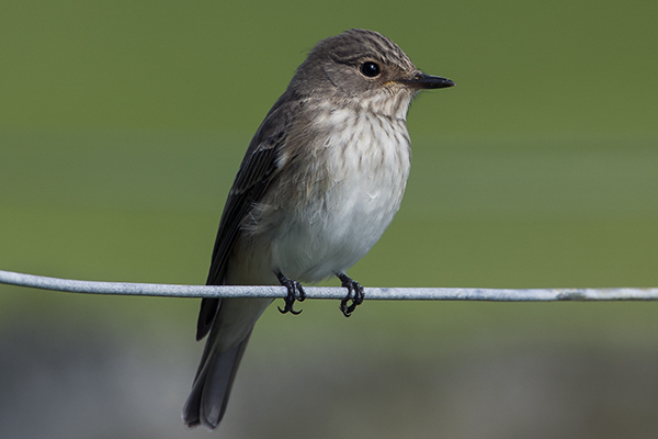 Spotted Flycatcher by Bryan Thomas©