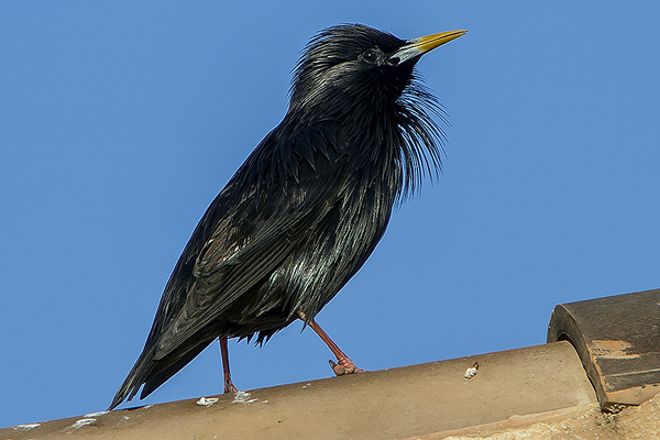 Spotless Starling by Bryan Thomas©