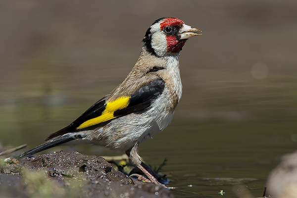 Goldfinch by Bryan Thomas©