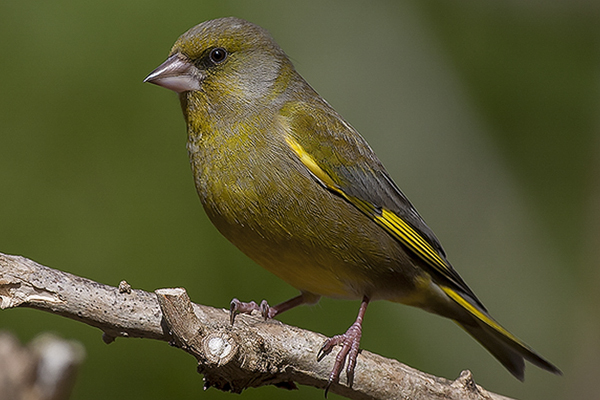 Greenfinch by Bryan Thomas©