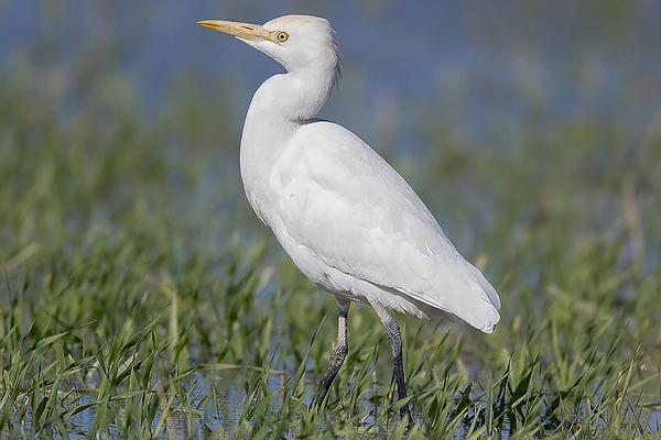 Cattle Egret by Bryan Thomas©