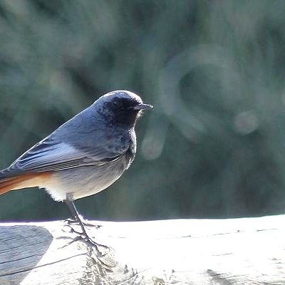 Black Redstart by Mary Brazier©