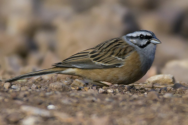 Rock Bunting by Bryan Thomas©