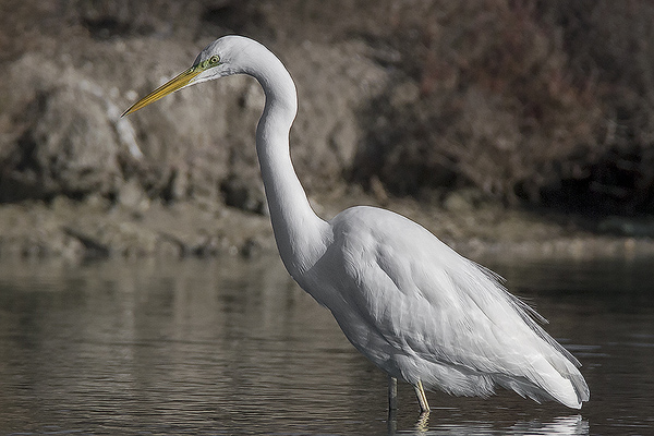 Great White Egret by Bryan Thomas©