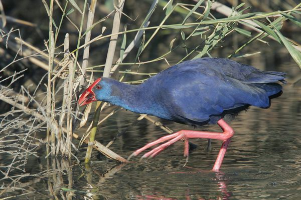 Purple Swamphen by Bryan Thomas©