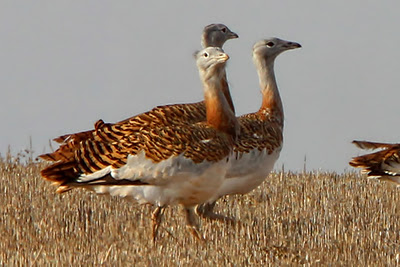 Great Bustards by Spider©