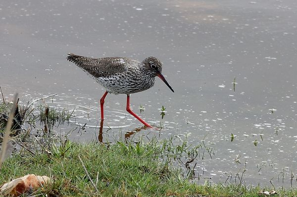 Redshank by Mary Brazier©