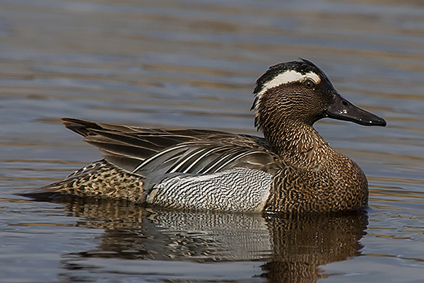 Garganey by Bryan Thomas©