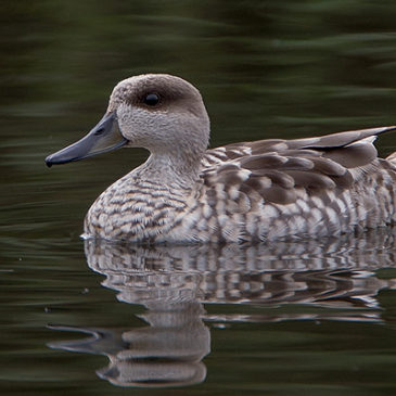 Marbled Duck news from Stephan and Els
