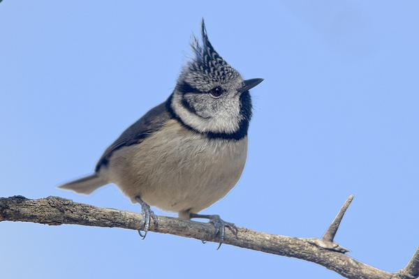 Crested tit by Bryan Thomas©