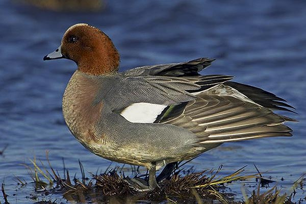 Wigeon by Bryan Thomas©