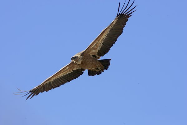 Griffon Vulture by Bryan Thomas©