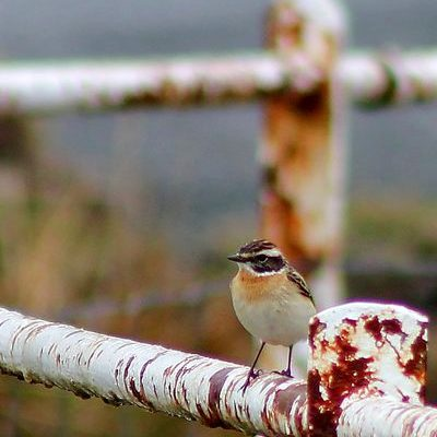 Whinchat by Mary Brazier©