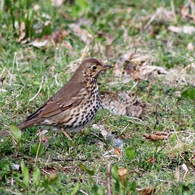 Song Thrush by Mary Brazier©