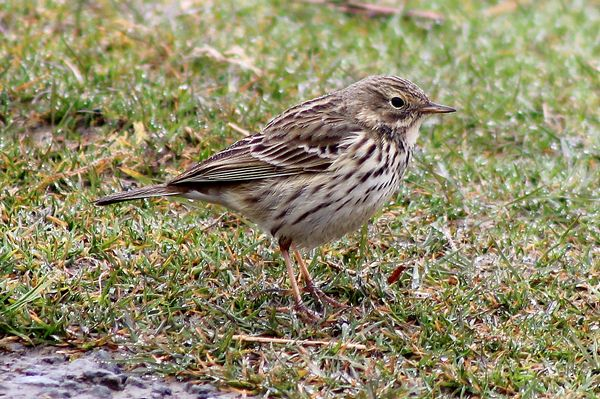 Meadow Pipit by Mary Brazier©