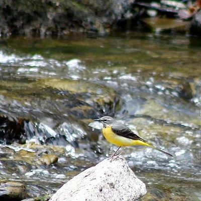 Yellow Wagtail by Mary Brazier©