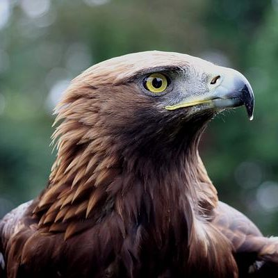 Golden Eagle by Mary Brazier©