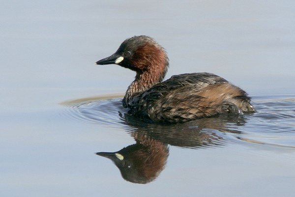 Little Grebe by Bryan Thomas©