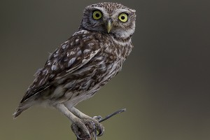 Little Owl by Bryan Thomas©