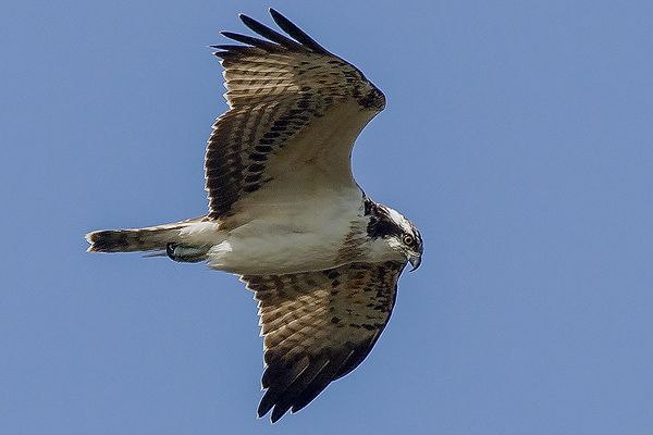 Osprey by Bryan Thomas©