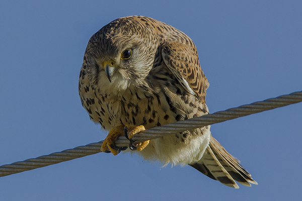 Kestrel by Bryan Thomas©