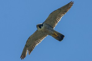 Peregrine by Bryan Thomas©