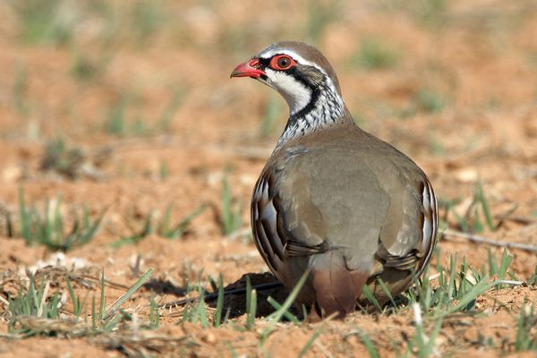 Red legged Partridge by Bryan Thomas©
