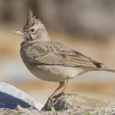 Crested Lark by Bryan Thomas©