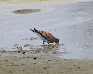 Turtle Dove by Michelle Edwards©