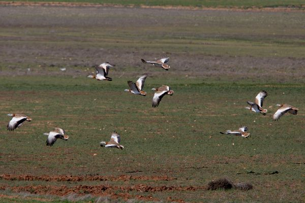Great Bustards by Bryan Thomas©