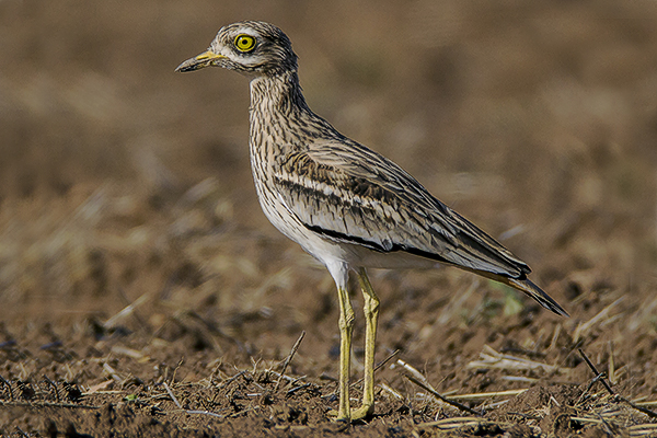 Stone Curlew by Bryan Thomas©