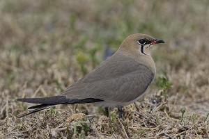 Collared Pratincole by Bryan Thomas©