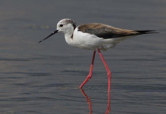 Black winged Stilt by Bryan Thomas©