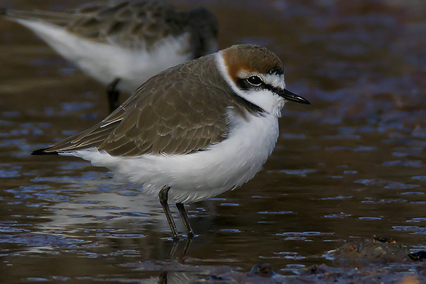 Kentish Plover by Bryan Thomas©