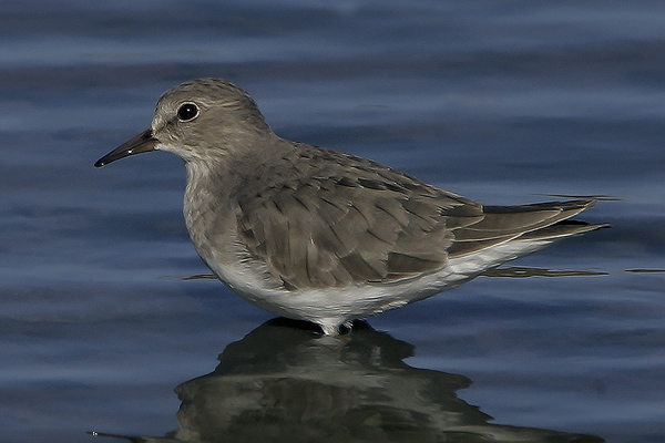Temminck's Stint by Bryan Thomas©