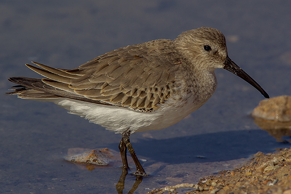 Dunlin by Bryan Thomas©