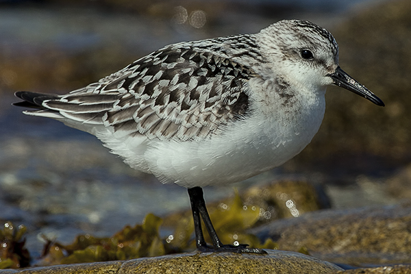 Sanderling by Bryan Thomas©