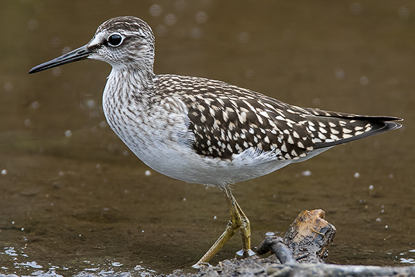 Wood Sandpiper by Bryan Thomas©